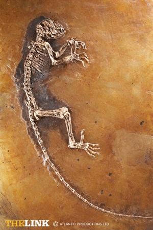 darwinius-masillae