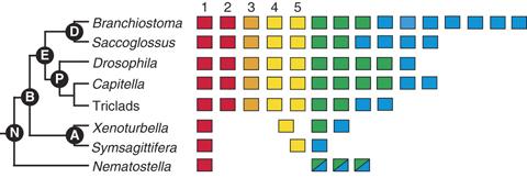 figuur-6-macro-3-hox-nielsen-evol-dev-2010